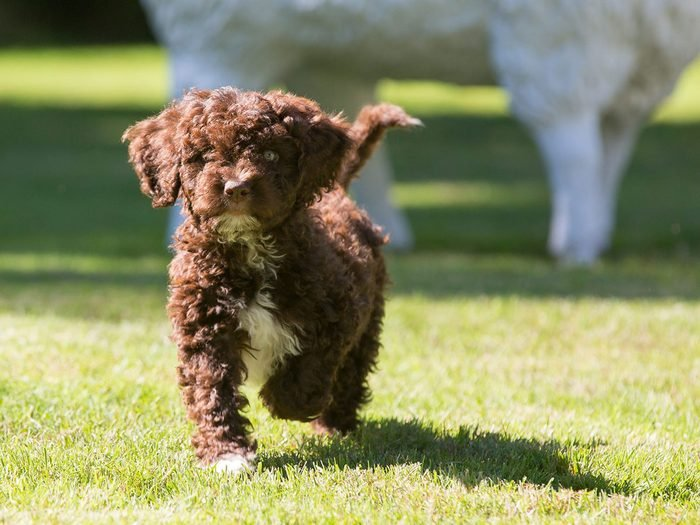 Le chien d'eau espagnol fait partie des races de chiens qui ne perdent pas de poils.