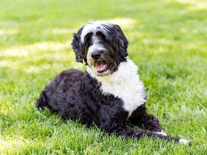 Le chien d'eau portugais fait partie des races de chiens qui ne perdent pas de poils.