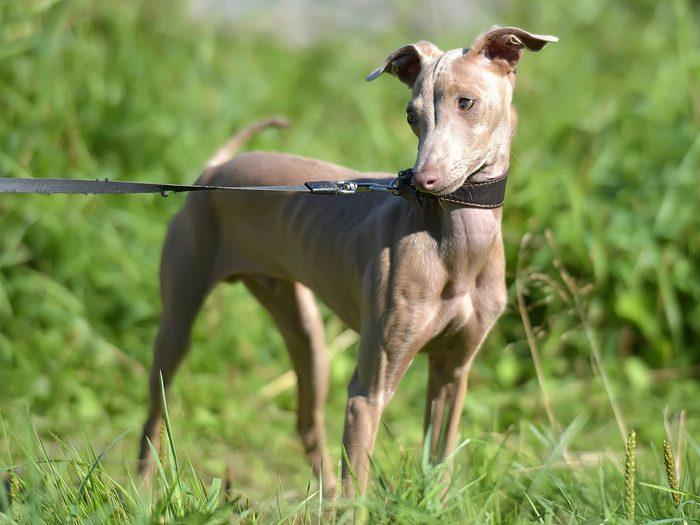 Le chien nu du Pérou fait partie des races de chiens qui ne perdent pas de poils.
