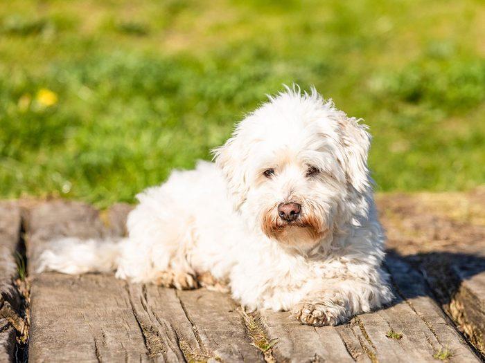 Le coton de Tuléar fait partie des races de chiens qui ne perdent pas de poils.