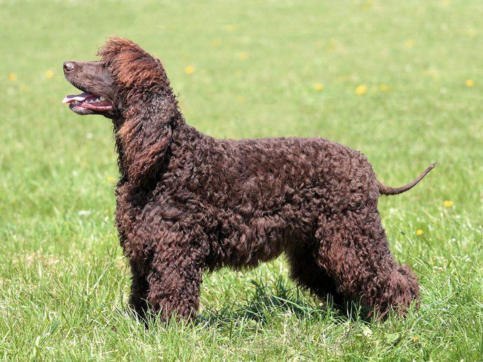 L'épagneul d'eau irlandais fait partie des races de chiens qui ne perdent pas de poils.