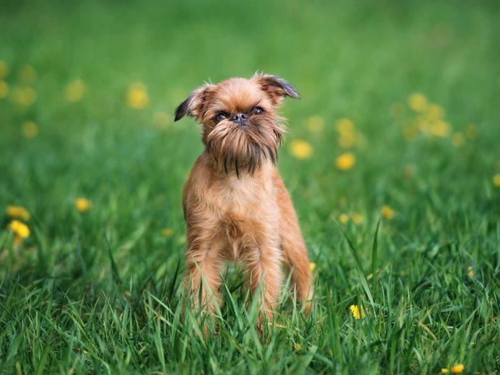 Le griffon bruxellois fait partie des races de chiens qui ne perdent pas de poils.