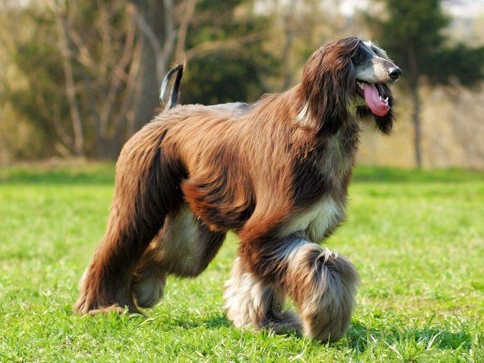 Le lévrier afghan fait partie des races de chiens qui ne perdent pas de poils.