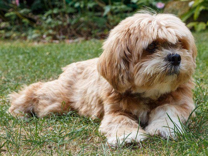 Le lhasa Apso fait partie des races de chiens qui ne perdent pas de poils.