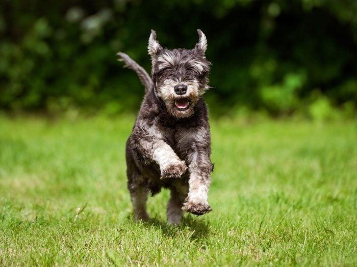 Le schnauzer fait partie des races de chiens qui ne perdent pas de poils.