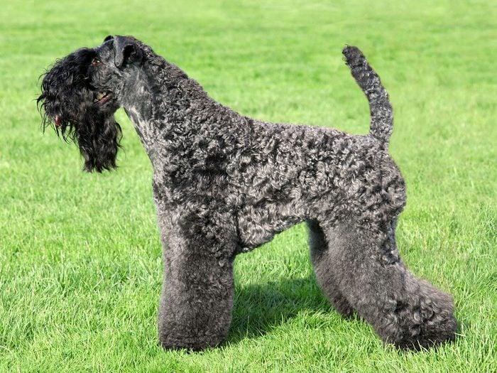 Le terrier Kerry Blue fait partie des races de chiens qui ne perdent pas de poils.
