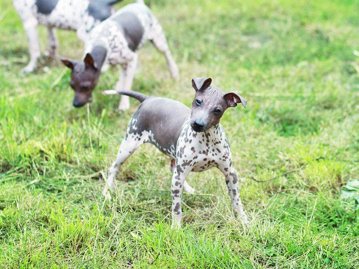 Le terrier américain sans poil fait partie des races de chiens qui ne perdent pas de poils.