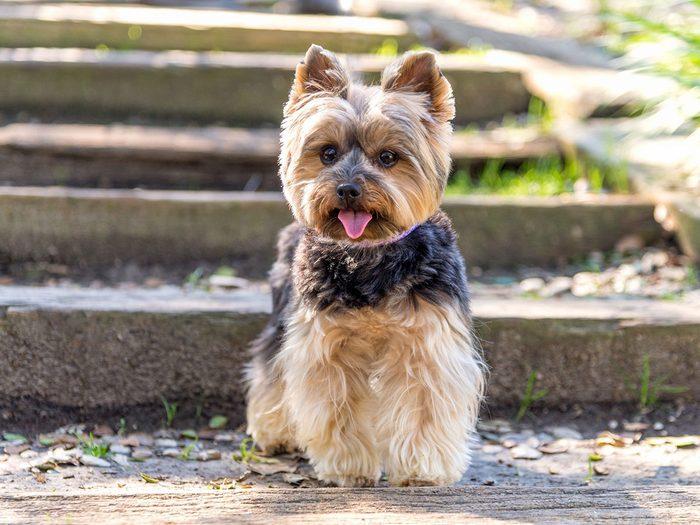 Le terrier du Yorkshire ou York fait partie des races de chiens qui ne perdent pas de poils.