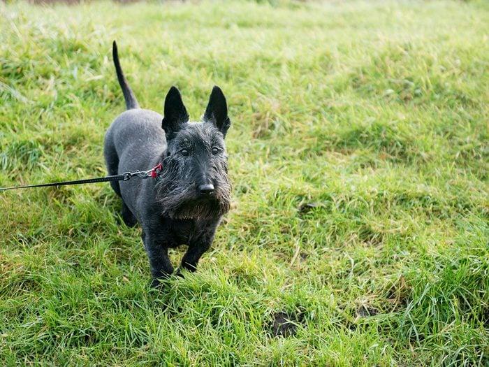 Le terrier écossais fait partie des races de chiens qui ne perdent pas de poils.