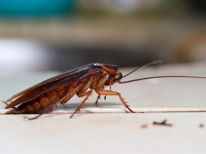 Les blattes font partie des insectes domestiques les plus dégoûtants.
