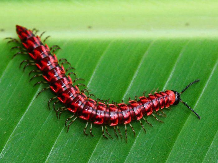 Les millipèdes font partie des insectes domestiques les plus dégoûtants.