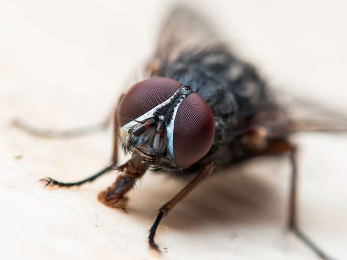 Les mouches font partie des insectes domestiques les plus dégoûtants.