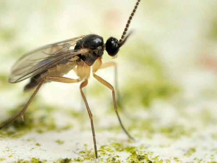 Les moucherons font partie des insectes domestiques les plus dégoûtants.
