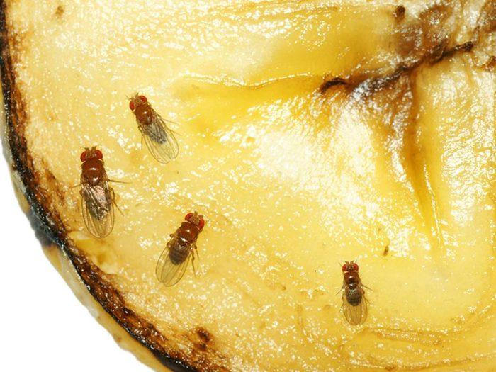 Les mouches à fruits font partie des insectes domestiques les plus dégoûtants.