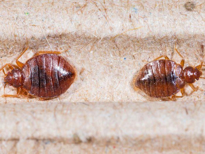 Les punaises de lit font partie des insectes domestiques les plus dégoûtants.