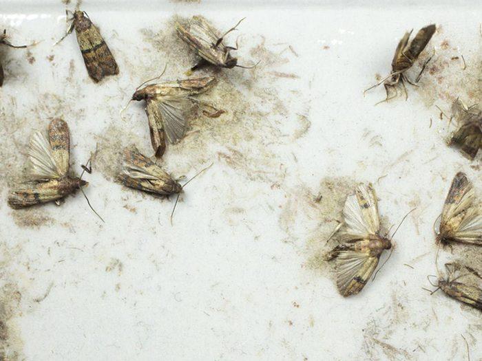 Les pyrales de la farine font partie des insectes domestiques les plus dégoûtants.
