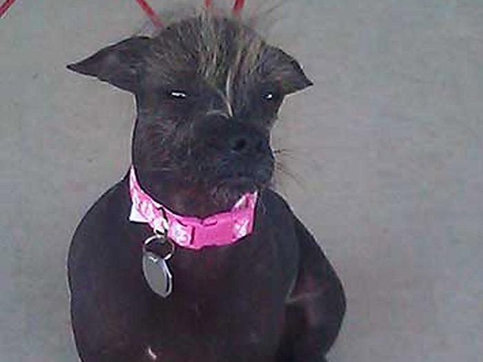 Cyndy Loo Whoo est l'un des chiens les plus laids du monde.
