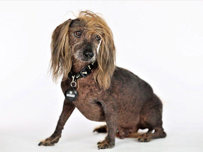 Himisaboo est l'un des chiens les plus laids du monde.