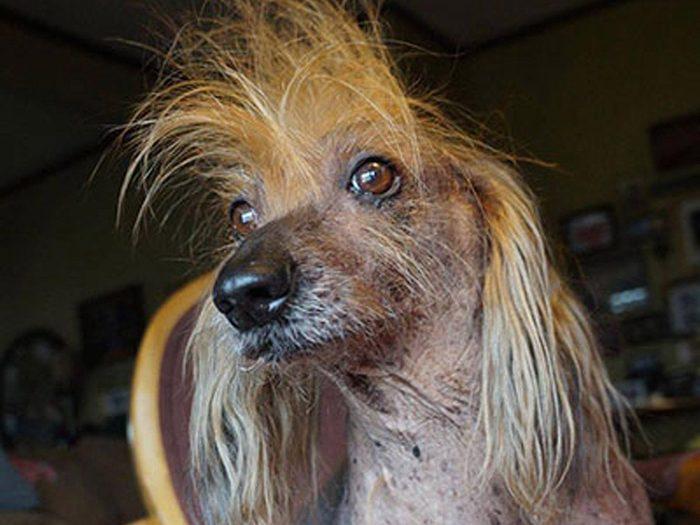 Isaboo est l'un des chiens les plus laids du monde.