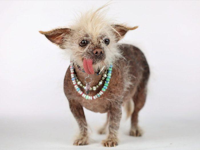 Josie est l'un des chiens les plus laids du monde.