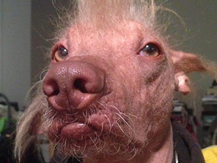 Morris est l'un des chiens les plus laids du monde.