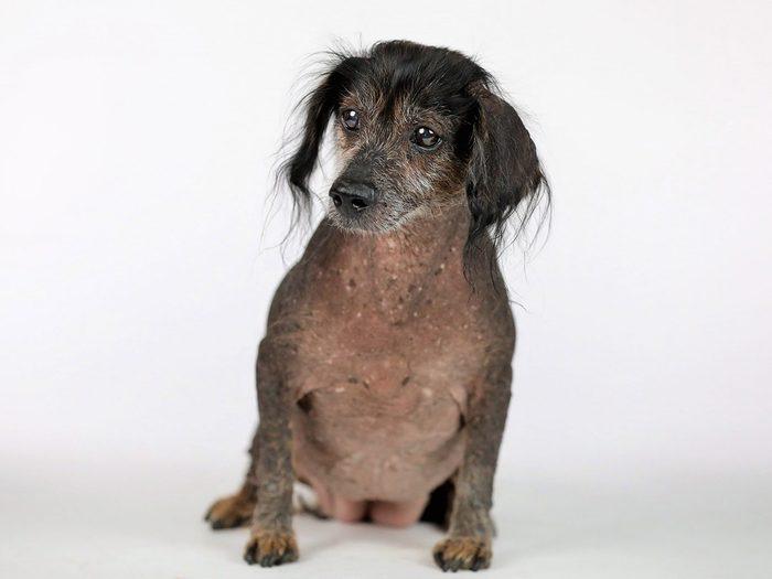 Rooby Roux est l'un des chiens les plus laids du monde.