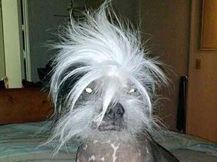 Zoomer est l'un des chiens les plus laids du monde.