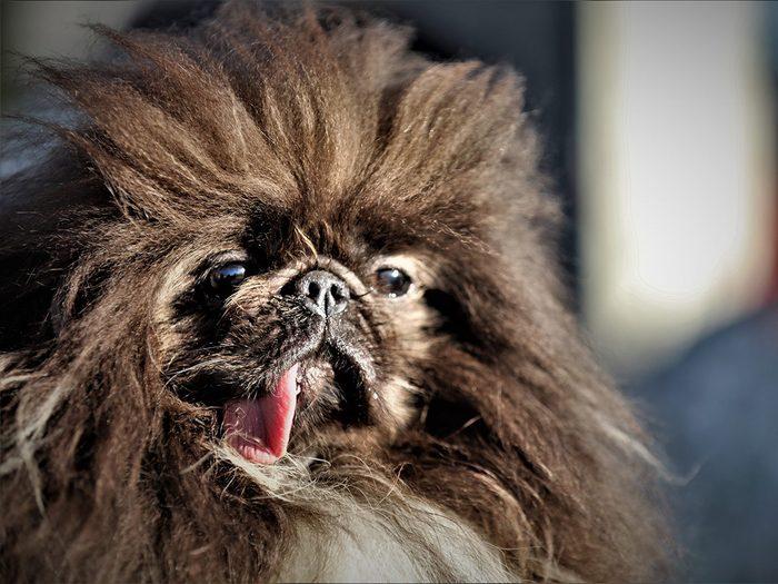 Les chiens les plus laids du monde.