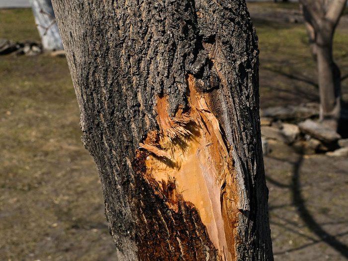 Les blessures ou fissures dans le tronc des arbres malades.