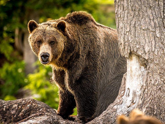 Un cri dans l'immensité: victime d'une attaque de grizzly.