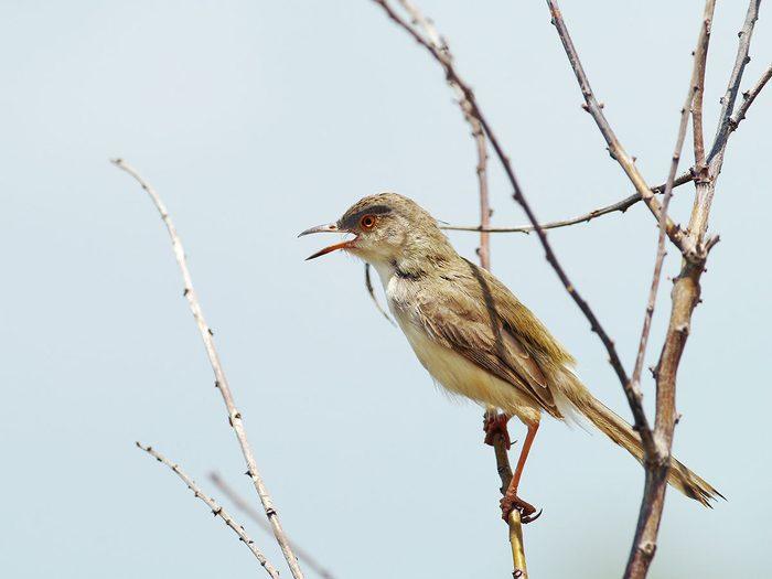 Bonnes nouvelles: le retour d'un oiseau qu'on croyait disparu.