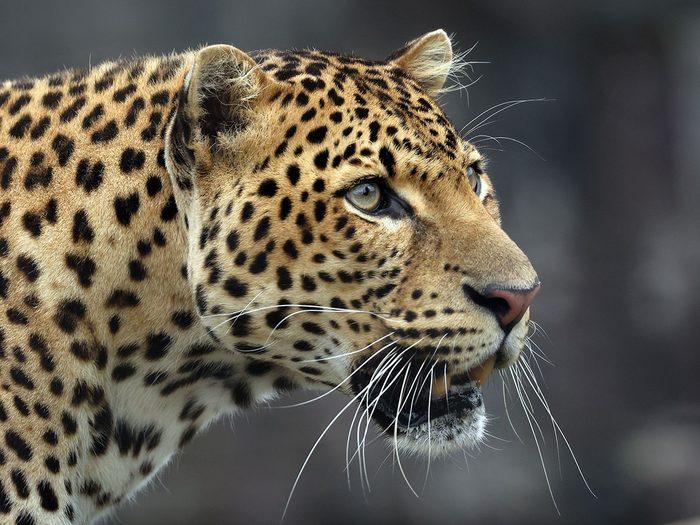 Bonnes nouvelles: le retour du guépard de l'Inde.