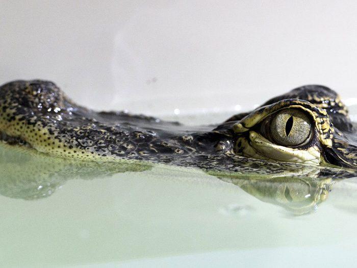 L'histoire des alligators dans les égouts fait partie des légendes urbaines qui se sont avérées être vraies.